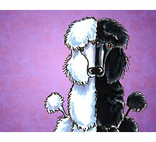 White and Black Standard Poodles Purple Photographic Print