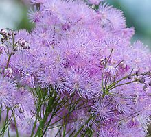 Greater Meadow-rue by Alexander Chesham