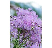 Greater Meadow-rue Photographic Print