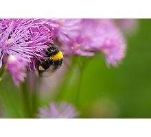 Greater Meadow-rue flower with bumblebee  Photographic Print