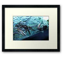 Fidler crabs Framed Print
