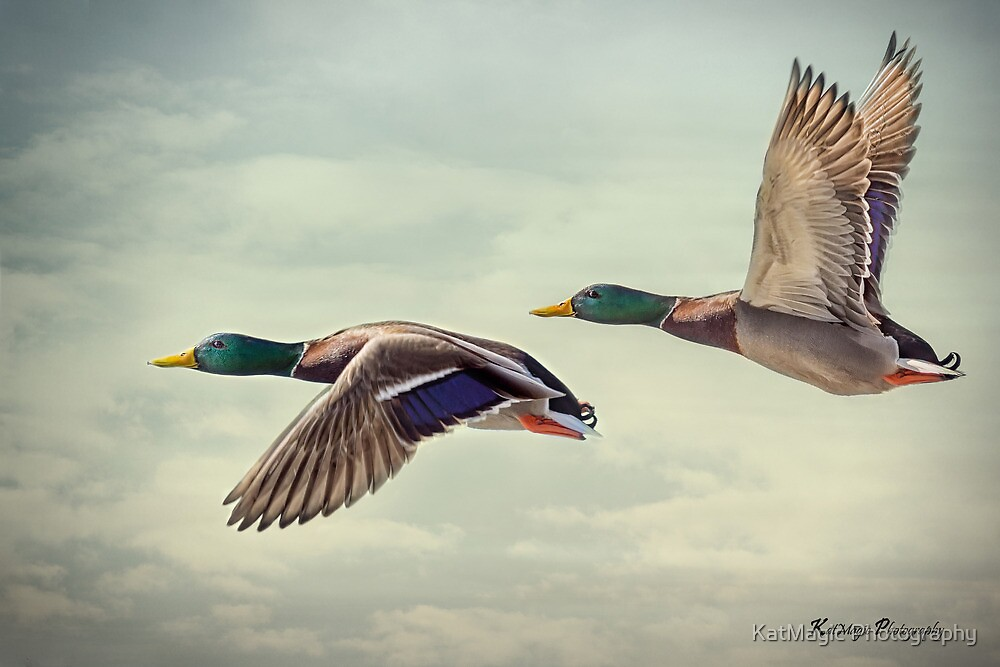 Mallard Boys in Flight by KatMagic Photography