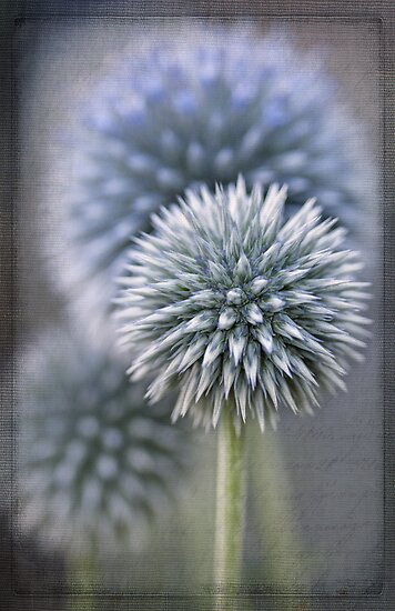Globe Thistle by Beth Mason