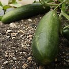 Colossal Cucumbers by Stephen Thomas