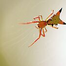 Arrow-Shaped Micrathena Spider by Thomas Eggert