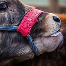 Calf Licking by Ruben D. Mascaro