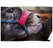 Calf Licking Poster