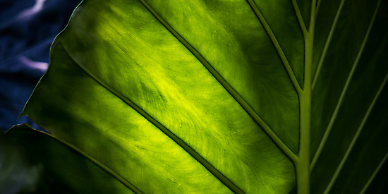 Sunlight Through A Leaf by NickVerburgt