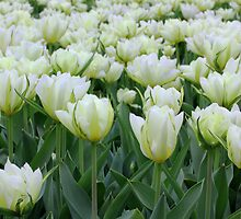 White Tulips Tulipa by Tom Curtis