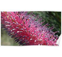 Bush flower, Western Australia Poster