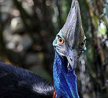 the Cassowary - confined to a zoo (Port Douglas). by geof