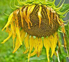 Wilted Sunflower by Carolyn Clark