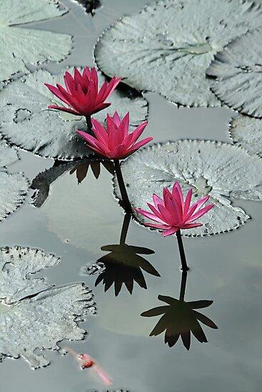 Krabi Water Lilies by DRWilliams