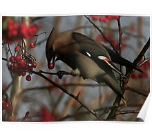 The Bohemian Waxwing  Poster