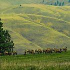 Montana Elk Herd by lincolngraham