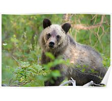 Grizzly Bear Cub Making Eye Contact Poster