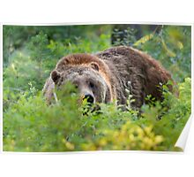 Grizzly Bear in Forest Brush Poster