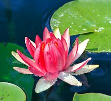 PInk Water Lily by svchristian