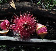Euc. leucoxylon rosea - Candy Matthews by Golden Valley Tree Park