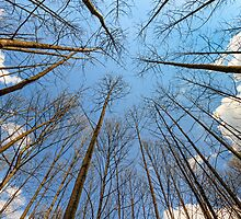 Towering Trees and Sky by Kenneth Keifer