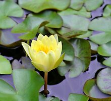 Yellow Water Lily by svchristian