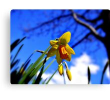 Daffodils in Blue Canvas Print