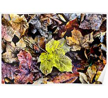 AUTUMN LEAVES - MT WILSON NSW AUSTRALIA Poster