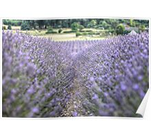 In The Lavender Poster