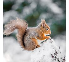 Red Squirrel perched on tree stump, County of Northumberland, England Photographic Print