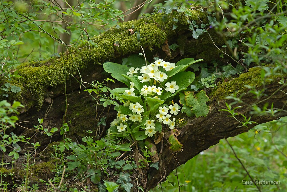 Primroses in Woodland by Sue Robinson