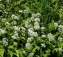 Wild Flower Garlic or Ramson by Sue Robinson