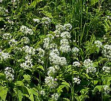 Wild Flower Garlic or Ramson by Sue Robinson
