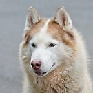Siberian Husky Dog by Margaret S Sweeny