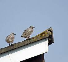 Herring Gull Chicks by Sue Robinson