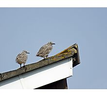 Herring Gull Chicks Photographic Print