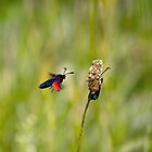 Six-spot Burnet Moths by Sue Robinson