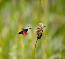 Six-spot Burnet Moths by Sue Robinson