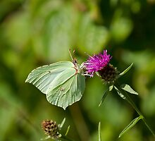 Brimstone Butterfly by Sue Robinson