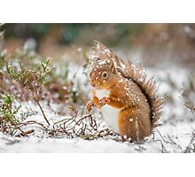 Red squirrel in snowfall Photographic Print