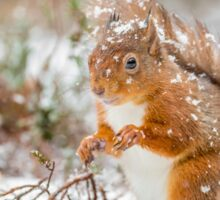 Red squirrel in snowfall Sticker