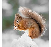 A Red Squirrel gathering food  Photographic Print