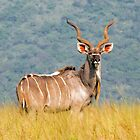 Greater Kudu Male by Searle