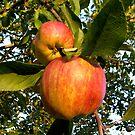 my orchard . . .  by evon ski