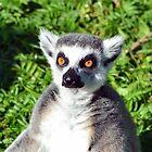 Lemur by ANDREW BARKE
