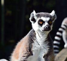 Lemurs by ANDREW BARKE