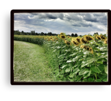 Sunflower Trail Canvas Print