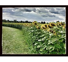 Sunflower Trail Photographic Print