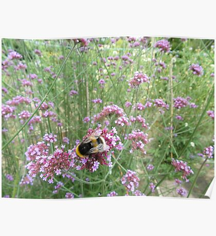 Bumble bee on verbena bonariensis Poster