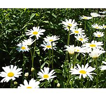 White daisies in the sunshine Photographic Print
