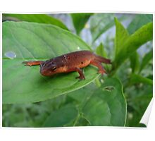 Sally The Salamander Poster